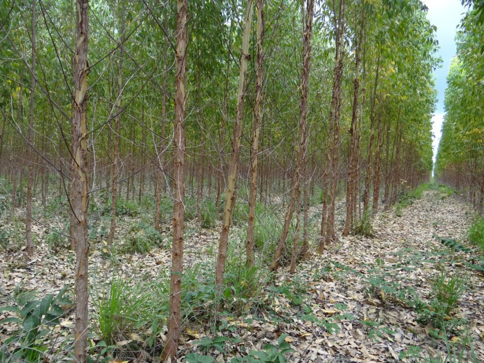Eucalyptus plantation on land grabbed from traditional communities in Brazil, specifically for biomass energy. Ivonete Gonçalves de Souza