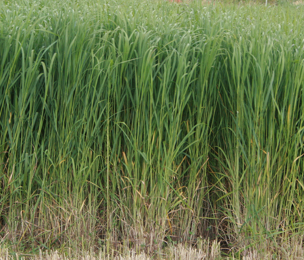 """Switchgrass - an """"energy crop"""" proposed for BECCS. eXtension Farm Energy Community of Practice CC BY-NC 2.0"""
