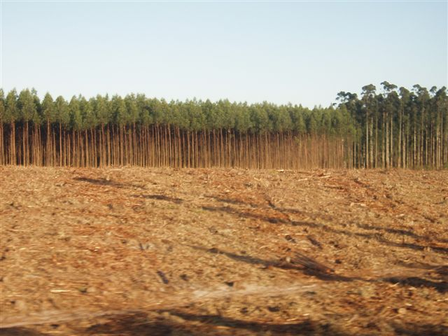 Ecosystem-destroying eucalyptus plantations would be a key part of a bioenergy with carbon capture and storage (BECCS) climate mitigation strategy. Chris Lang/Flickr CC